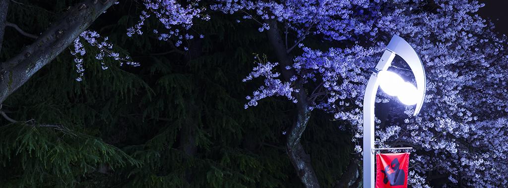 春3(夜桜とウルトラマン街路灯)