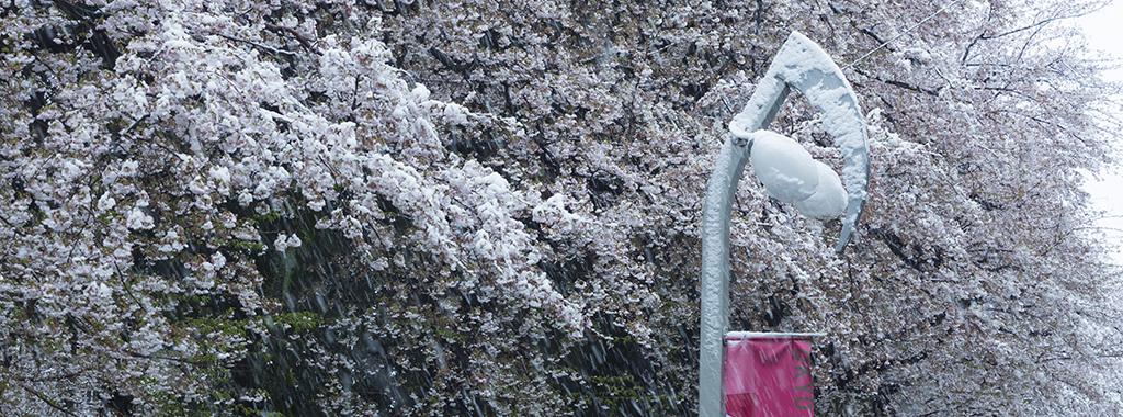 冬2(桜に雪)